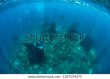 Manta rays in the ocean. Pictures were taken near Bali. #1207594375