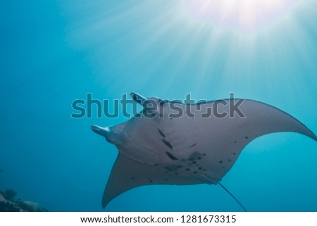 Manta rays swimming in the sunshine. Yap island, Federated States of Micronesia. #1281673315