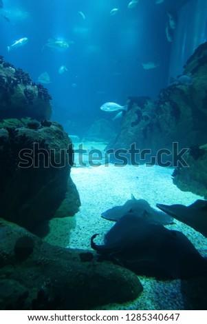Manta rays underwater #1285340647