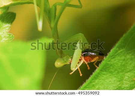 Mantis #495359092