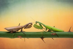 Mantis are fighting on the branches of roses. Confrontation of two mantis and posing. Macro picture with cool background