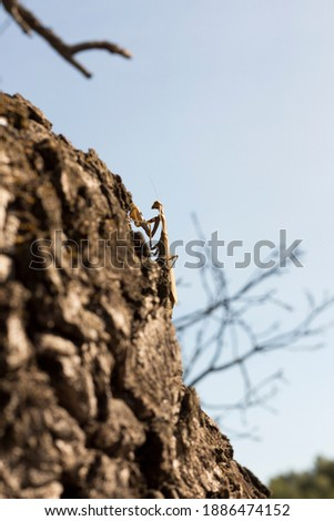 mantis camouflaged with the environment, climbing a rocky wall. Neopteran insect. Stock photo ©