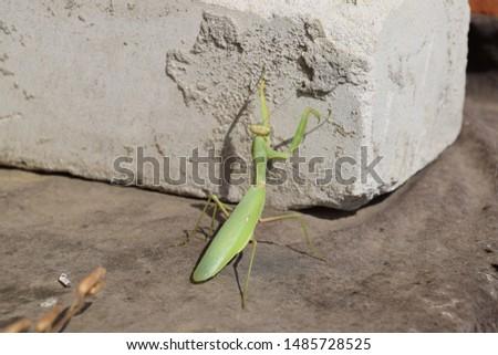 Mantis, climbing on a brick wall. The female mantis religios. Predatory insects. Huge green female mantis. #1485728525
