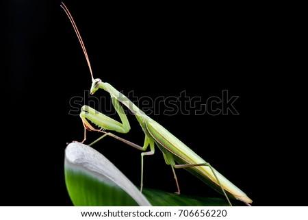 Mantis  close up photo isolated #706656220