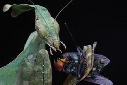 Mantis eat prey on isolated black background