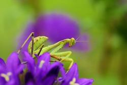 Mantis from family Sphondromantis (Spondromantis viridis) lurking on the green leaf.Sphodromantis viridis as a pet. Common names African mantis, giant African mantis or bush mantis on purple flowers.