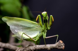 Mantis in Defensive Stance