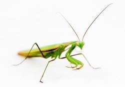 Mantis isolated on white