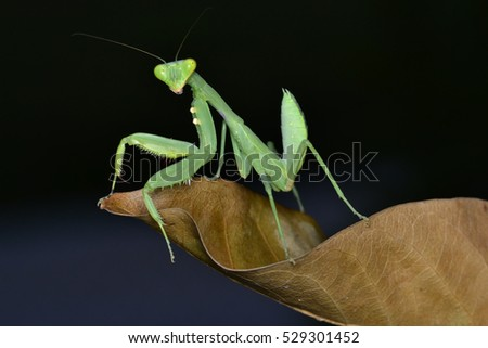 Mantis, macro photography common green mantis or pray mantis with blur background
