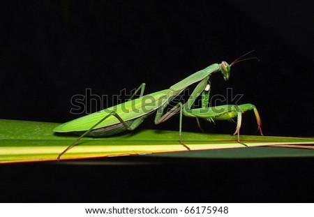 mantis mantid mantide