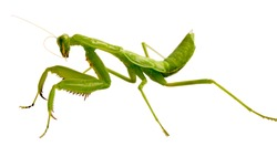 Mantis on white background. Closeup image of mantis looking into camera. Soothsayer or mantis green insect.