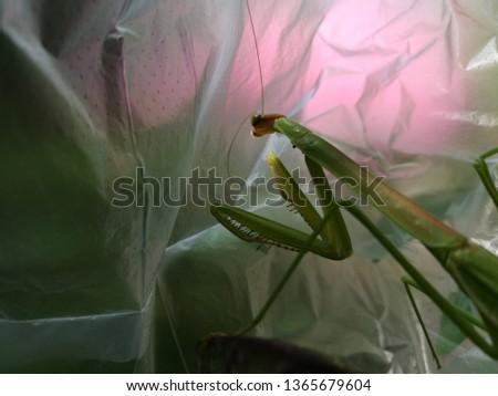 Mantis or Praying Mantis, Mantis religiosa in plastic bag. pollution problem. Environmental issue. #1365679604