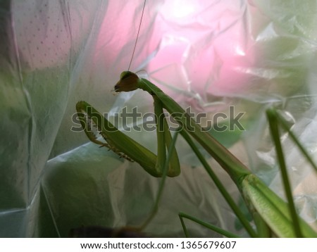 Mantis or Praying Mantis, Mantis religiosa in plastic bag. pollution problem. Environmental issue. #1365679607