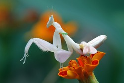 Mantis orchid on flower, beautiful mantis on flower