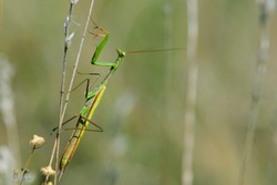 Mantis Religiosa. European praying mantis sitting on a dry meadow plant, in the summer at sunset. A green insect with long legs and antennae clings to the plant. blurred background, close-up