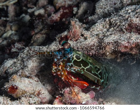 Mantis Shrimp hiding in Coral reefs #1066594766
