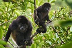 Mantle howler monkey feeding with baby on its back (Alouatta palliata), Tilaran Gte, Costa Rica