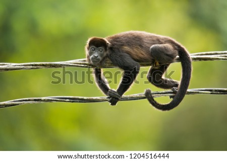 Mantled howler (Alouatta palliata), or golden-mantled howling monkey, is a species of howler monkey, a type of New World monkey, from Central and South America.