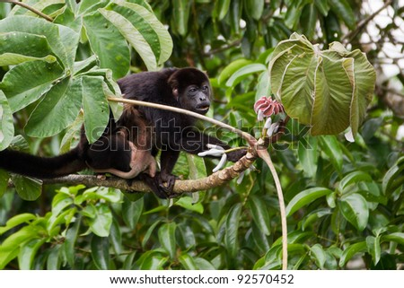 Mantled Howler, Alouatta palliata, with baby clinging