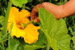 Manual pollination of zucchini flowers with a male flower. Work in the garden in the spring pollination of plants.