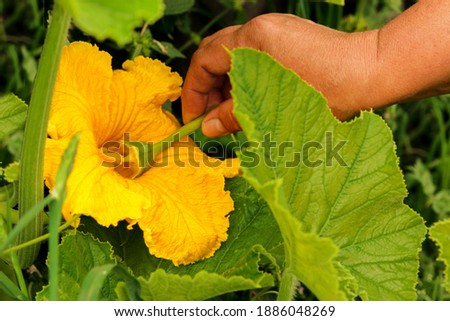 Manual pollination of zucchini flowers with a male flower. Work in the garden in the spring pollination of plants. Stock photo ©