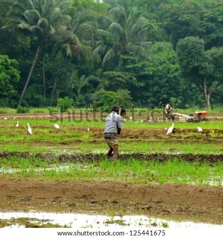 manual work of the man on the rice field. Island Sri Lanka