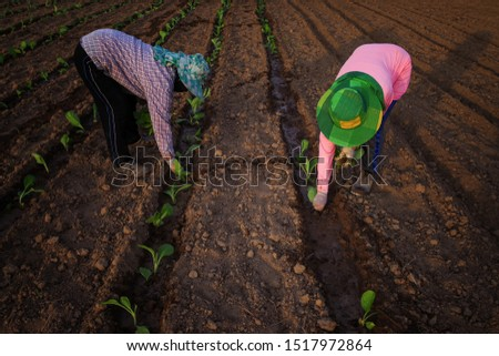 Manual workers plant seedlings by hand on tobacco growing farms.