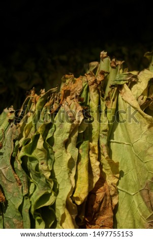 Manufacture of tobacco. Drying tobacco. Classical way of drying tobacco leaves, hanging to dry in the sun.