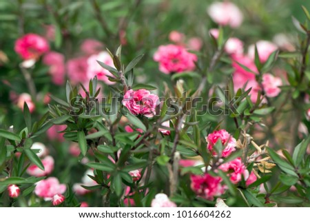 Free photos small pink white flowers cluster in bloom avopix manuka myrtles white and pink flowers bloomingleptospermum scoparium 1016604262 mightylinksfo