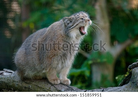 Manul yawning on the rock