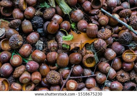 Many acorns on the ground, acorns on ground #1518675230