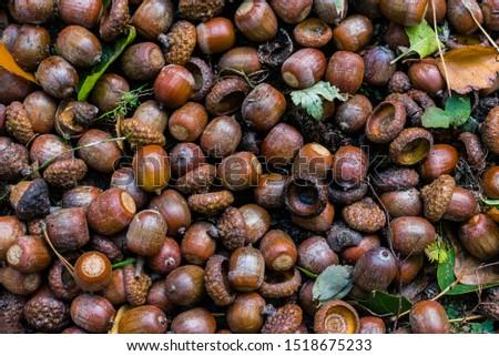 Many acorns on the ground, acorns on ground #1518675233