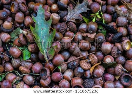 Many acorns on the ground, acorns on ground #1518675236