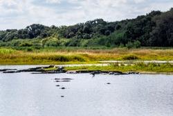 Many alligators predators in deep hole famous alligator lake pond in Myakka River State Park, Sarasota, Florida