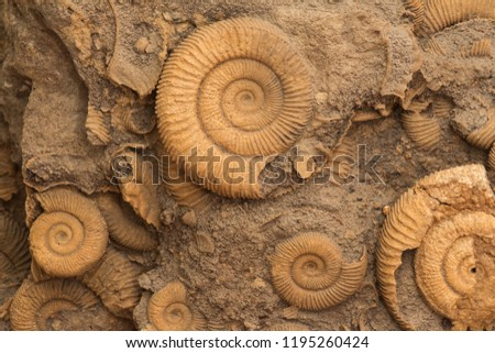 Many Ammonite Fossils from the Jurassic. Archeology and paleontology concept.