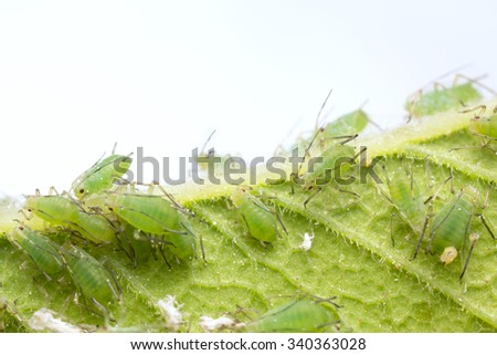 Many aphids on leaf
