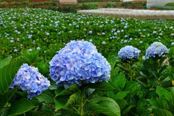 many beautiful light blue and purple hydrangea macrophylla flowers are blooming in the garden with blur background of hydrangea field and greenhouse plant nursery.