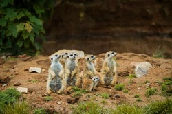 many beautiful meerkat stand on their feet