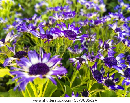 Many beautiful purple, blue, and white flowers. Baby Senetti, blue bicolor, Pericallis Senecio plants for a home garden. Multi colored flowers, home decoration, landscaping, Easter, spring concepts.