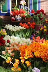 many beautiful varicoloured tulips, spring flowers banner
