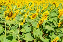 Many beautiful yellow sunflowers are blooming in the sunflower field.