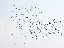 Many birds flying on sky isolated on white background.