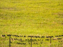 Many birds, possibly Brewer's blackbirds (binomial name: Euphagus cyanocephalus), perching on barbed wire fence near cattle (off camera) in grassland, north central Nebraska, USA, on a summer evening
