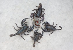 Many black scorpions and millipedes, scorpions are poisonous animals. But millipedes are not poisonous It will roll when in danger, scorpions can bite and release poisonous poisons at enemies, harmful