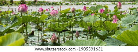 Many blooming lotuses on the lake in the Khabarovsk territory. The lake of lotuses. Panoramic shot of lotuses on the lake.