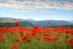 Many blooming poppy flowers on mountain meadow