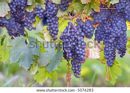 many blue grapes on vines, Bordeaux, france