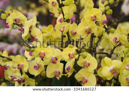 Many branches of yellow orchid flower on the vase