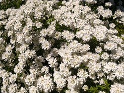 Many bright white flowers of ornamental plants evergreen candytuft (Iberis sempervirens or Iberis semperflorens) growing and flowering in garden in springtime. Natural elegant white floral background