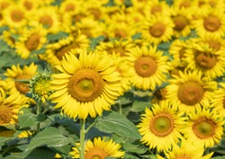 Many bright yellow big sunflowers in  plantation fields